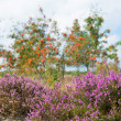 Stock Photo: Macro heather flowers with sorbus trees in background