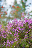 Macro heather flowers with sorbus trees in background — Stock Photo