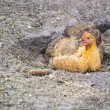 Stock Photo: Chicken taking dust bath