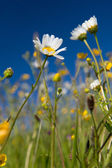Wild flowers in summer — Stock Photo