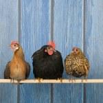 Chickens in henhouse — Stock Photo #42487765
