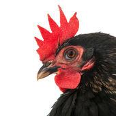 Stående svart kyckling — Stockfoto