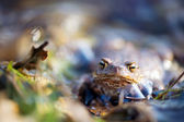Common toad — Foto Stock