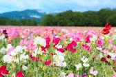 Colorful Lathyrus — Stock Photo