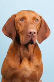 Hungarian or Magyar Vizsla — Stock Photo