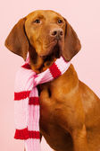 Hungarian or Magyar Vizsla in winter — Stock Photo