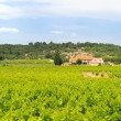 Vineyard in south-France — Stock Photo #44556903