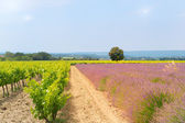 Vineyard in south-France — Stock Photo