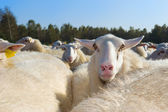Sheep herd — Stockfoto