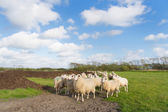 Sheep at Dutch wadden island Terschelling — Stock Photo