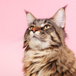 Maine coon cat on pastel pink — Stock Photo #48498023