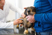 Having fear for the veterinarian — Stockfoto