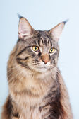 Maine coon cat on blue — Stockfoto