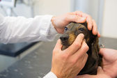 Veterinarian is looking to the eyes of dog — Photo