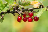 Red currants in bush — Stock Photo