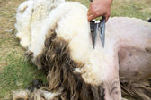 Shaving a sheep — Stock Photo