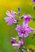 Common Mallow — Stock Photo