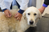 Vaccination for dog — Photo