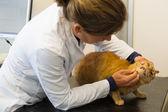 Veterinarian examination tooth of cat — Stock Photo