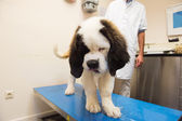 St. Bernard at de veterinarian — Stock Photo