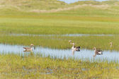 Greylag gooses at Terschelling — Stock Photo