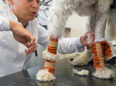 White dog with bandage at the veterinarian — Stockfoto