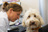 White poodle at the veterinarian — Stockfoto