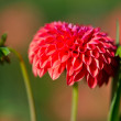 Red Pompon Dahlia — Stock Photo #51564991