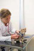 Ветеринар, изучения кошечка — Стоковое фото