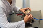 Veterinarian examining little cat — Stock Photo