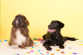 Cross breed dog laying with confetti — Stock Photo