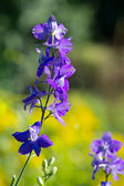 Larkspur — Stock Photo