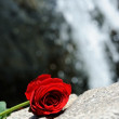 Stock Photo: Waterfall Rose