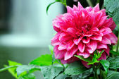 Big red flower — Stock Photo
