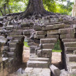 Huge tropical tree growing over stones, angkor wat, cambodia — Stock Photo