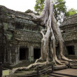 Tropical tree growing over stones, Ta Prohm Temple, Angkor Wat — Stock Photo