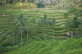 Tegalalang rice terrace, bali, indonesia — Stock Photo