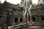 Tropical tree growing over stones, Ta Prohm Temple, Angkor Wat — Foto de Stock