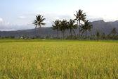 Beautifful rice fields in bali — Stock Photo