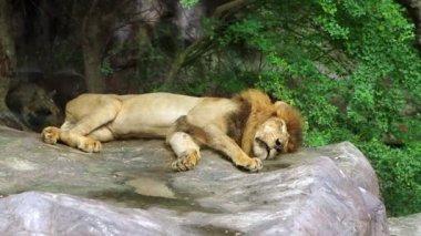 Sleeping Lion — Stock Video
