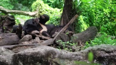 Black Bear resting — Stock Video