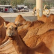 Camel farm in bahrain - Stock Photo