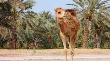 Camel in desert — Stock Video