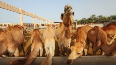 Camel farm in bahrain — Stock Video