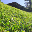 Sri Lanka tea garden mountains in nuwara eliya — Stock Video