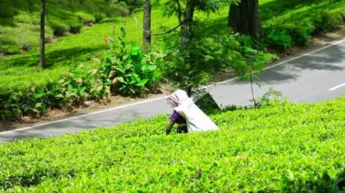 Worker collecting tea in sri lanka — Stockvideo