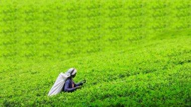 Worker collecting tea in sri lanka — Stock Video