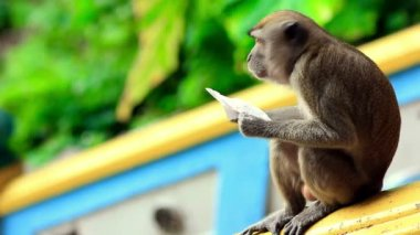 Monkeys in batu cave temple in malaysia — Stok video