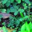 Shy plant: mimosa pudica. — Stock Video