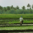 Agriculture workers on rice field in bali - Stock Photo